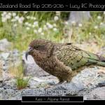 Kea Alpine Parrot SI