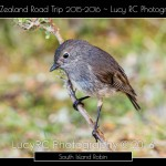 South Island Robin SI