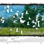 Australia + NZ Birds